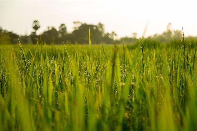 plantation-de-riz-jeju